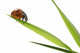 french-animals-coccinelle
