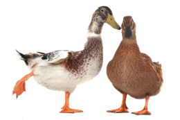 french-animals-ducks
